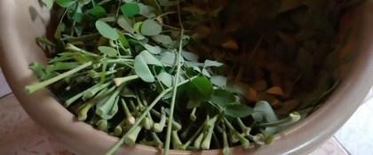 bladeren van de Moringa stenopetala