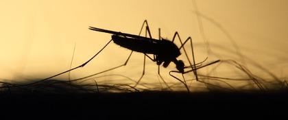 malariamug